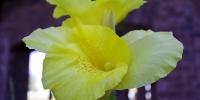 20101009-teravista-daffodil