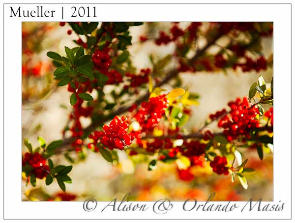 Bright red berries in the Mueller Austin Texas subdivision