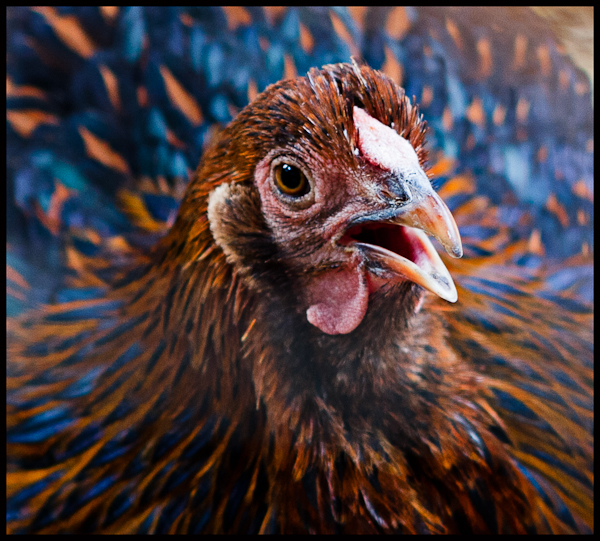 A chicken in an Austin backyard