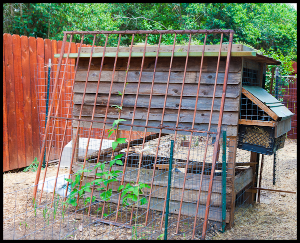 A backyard chicken coop in Austin TX