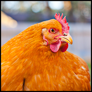 A very plump yellow backyard chicken